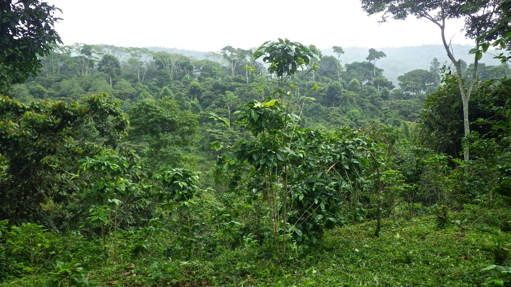 Up-close view of a moderate intensity coffee farm in the Soconusco region of Chiapas, Mexico (Finca Irlanda) with some trees in the genus Inga, coffee plants, and recently cut weed layer. (photo by Penelope Gillette)
