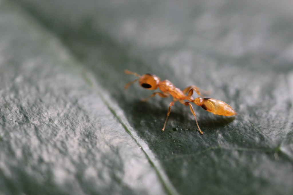 This ant (Pseudomyrmex simplex) is one of the most commonly encountered twig-nesting ant found in hollow coffee twigs in the Soconusco region of Chiapas, Mexico. The abundance of this species is significantly higher at lower elevations (450-900m) and drops off at the higher end of the Arabica coffee range (1200-1500m). (Photo by Katherine Ennis)