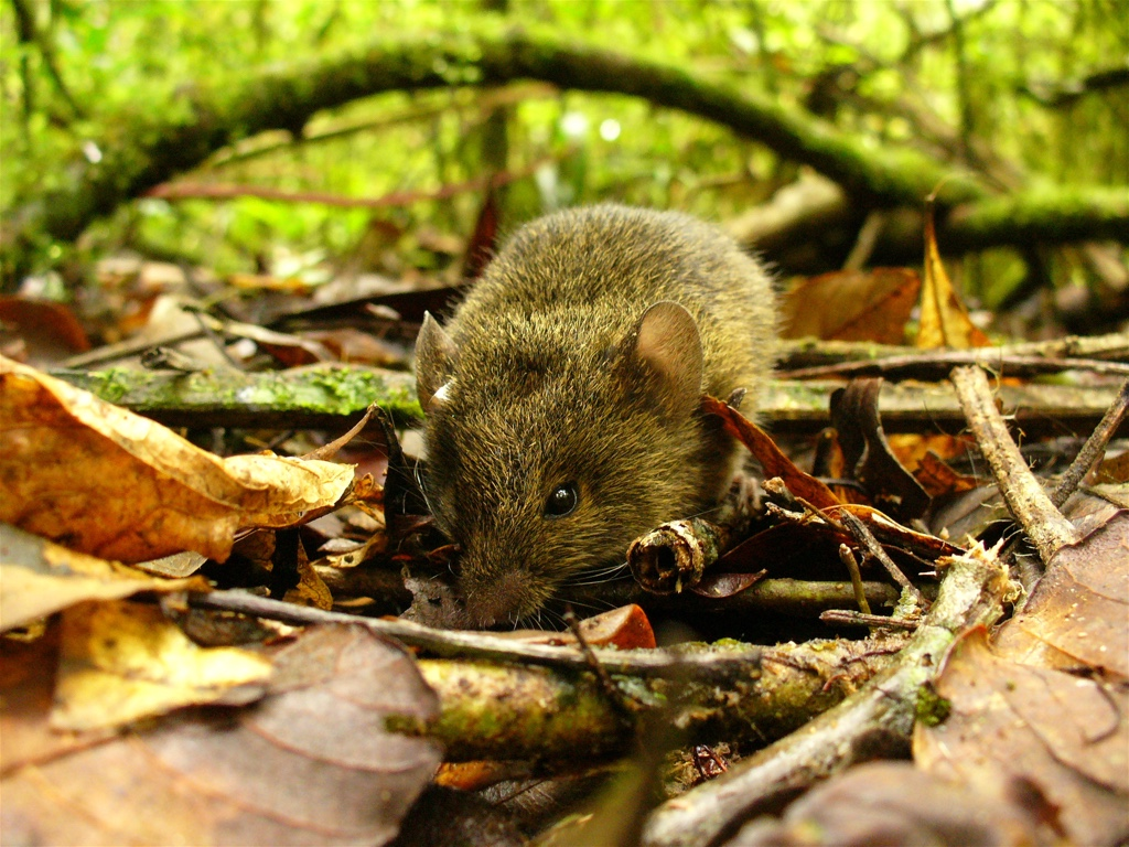 Akodon montensis, a habitat generalist small mammal common in younger forests (Photo: B. T. Pinotti).