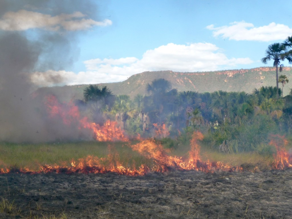 """Figure 2. Fire experiments conducted in wet grasslands to evaluate how fire affects vegetation composition, structure and dynamics. Local people usually burn the wet grasslands every two years in order to stimulate the production of flowering stalks of Syngonanthus nitens (""""capim dourado """" - golden grass/ Eriocaulaceae), which is used in handcraft. (Photo: Alessandra Fidelis)"""