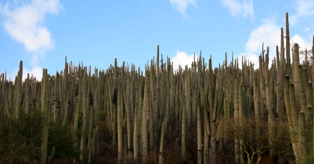 Columnar cactus forest and mezquite patches in Zapotitlan Salinas. (Photo by Jazmin Osorio).