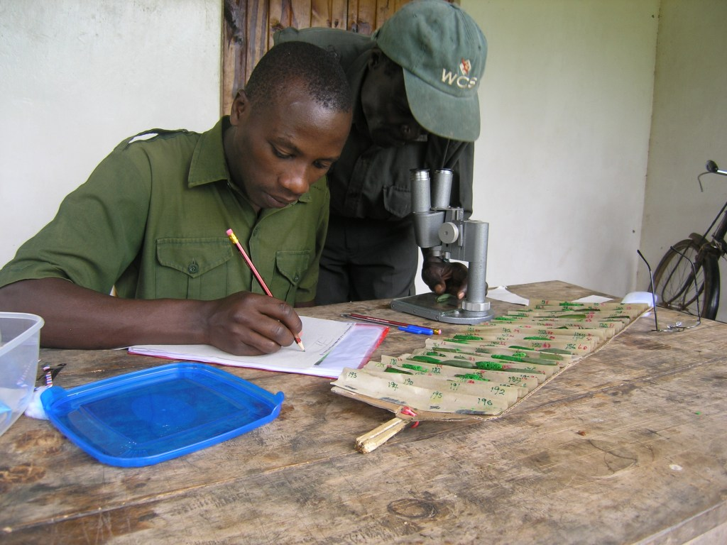Scoring of damages to caterpillars by Mwesige Isaiah, Francis Katuramu Kanywanii , also showing the cardboard tray for dummies that I invented. (Photo: Freerk Molleman).