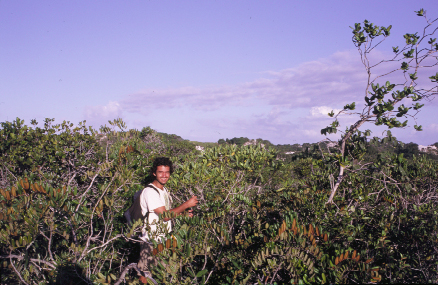 "The author collecting Pagamea harleyii, one of the two endemic species of the Altantic Coast region, on the ""Dunas de Itapoã"", Salvador, Bahia, Brazil."