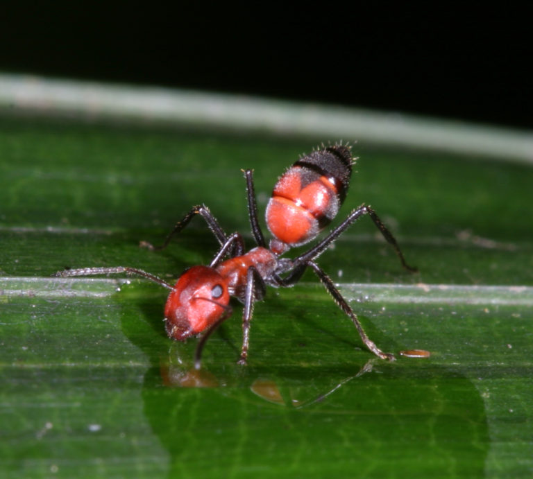 Figure 1. Worker of species 'OG' ('Orange Goo') feeding from supplied sugar water. Hypertrophy of MG reservoirs is visible through the integument. An upraised gaster is typical of ants feeding on liquids or responding to perceived threats. (Photo D. Davidson)