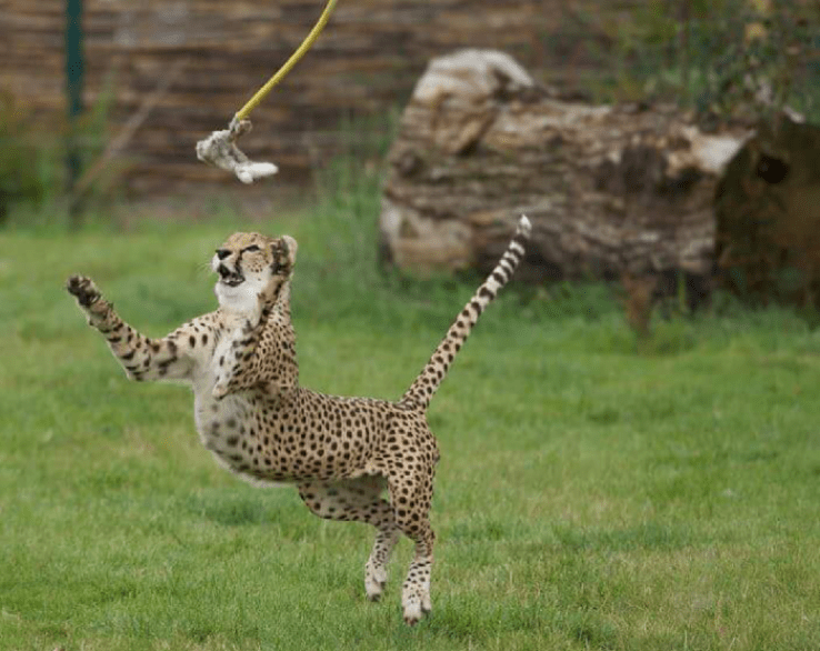 Food run in cheetah enclosure