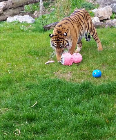 Enrichment in tiger enclosure