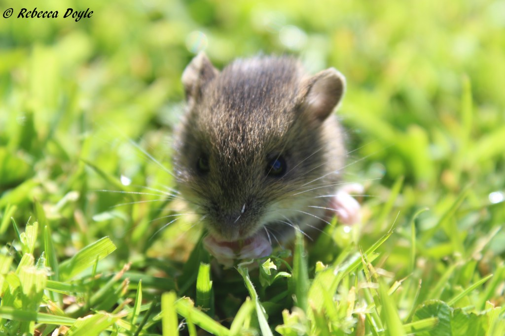 A young woodmouse in the grass (Rebecca Doyle)