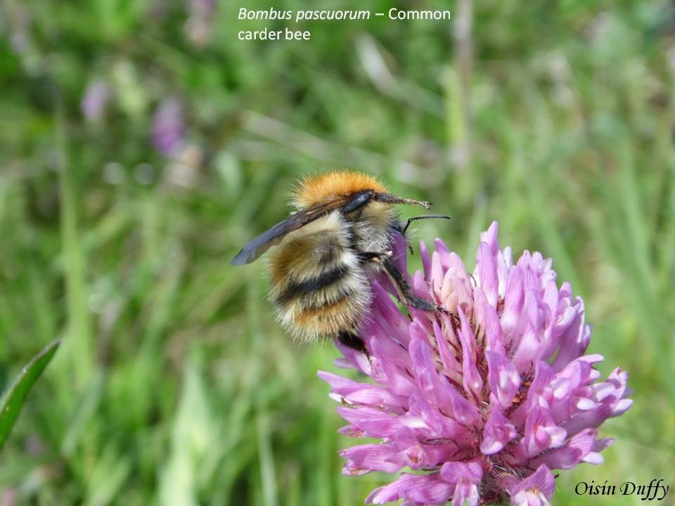 Common Carder Bee (Bombus pascuorum) feeding on Red Clover (Trifolium pratense) showing identification features of abdomen. – Oisín Duffy