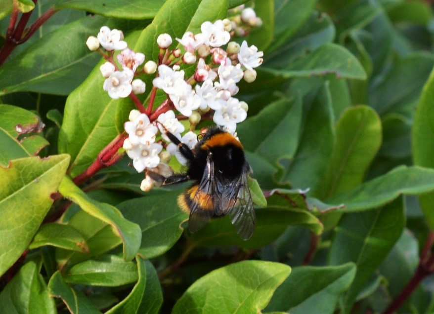 Queen Bombus terrestris feeding on Viburnum tinus, recorded on the 29/01/2016 – Oisín Duffy