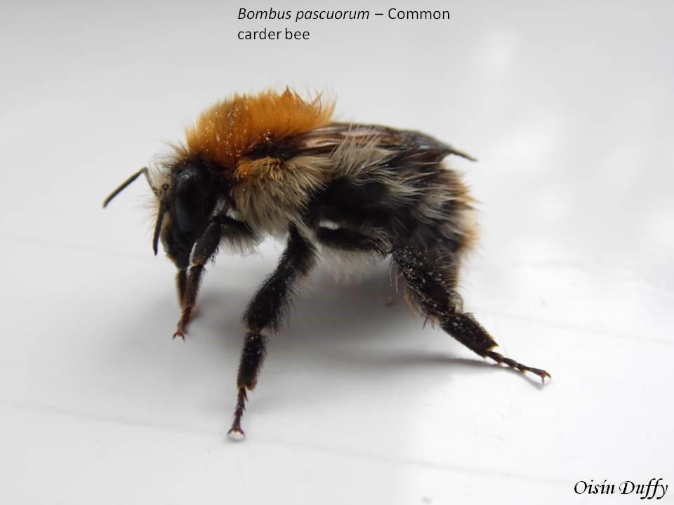 Common Carder Bee Bombus Pascuorum  ID Guide  BioWebie