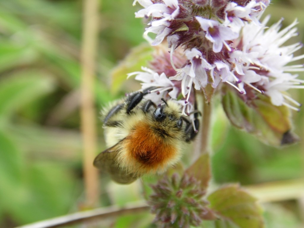 The hairs around the ginger thorax are much more blonde in B. muscorum than the white hair of B. pascuorum – Oisín Duffy
