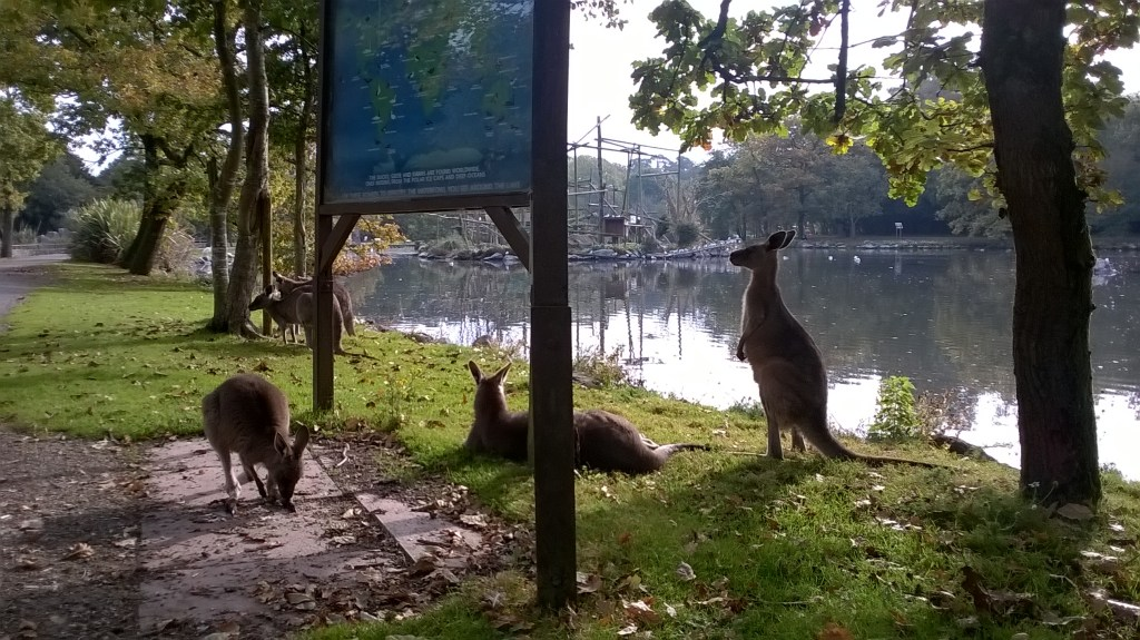 Some of our free roaming kangaroos.