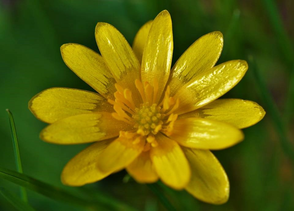 A double petalled variety of Lesser Celandine I came across last year locally in Co. Waterford – Oisín Duffy
