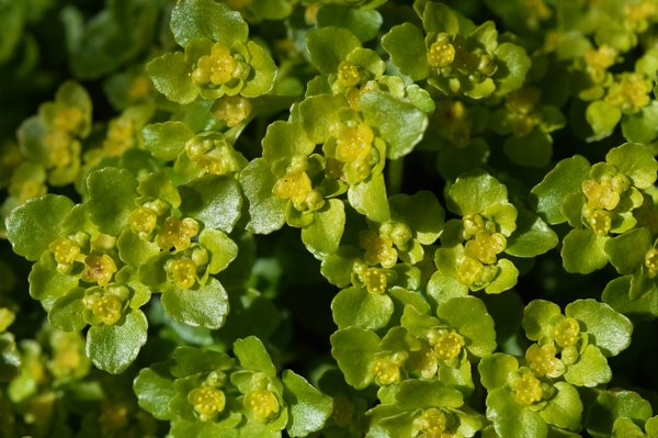 Opposite-Leaved Golden-Saxifrage (Chrysosplenium oppositifolium) being dappled by sunlight in a damp, wooded area. – Oisín Duffy