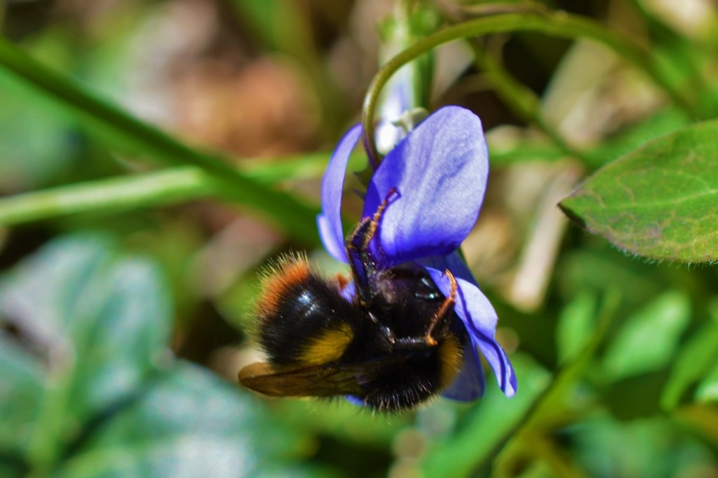 The Early Bumblebee (Bombus pratorum) feeding on Common Dog-Violet (Viola riviniana) – Oisín Duffy