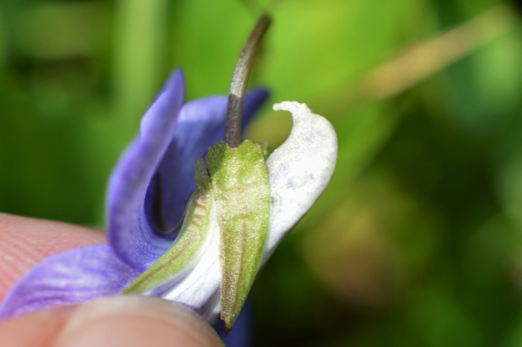 The characteristic pale spur of Common Dog-Violet (Viola riviniana) – Oisín Duffy