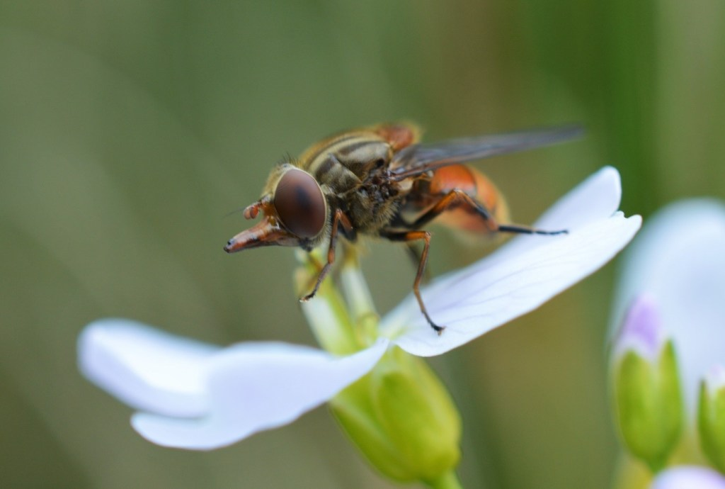 The hoverfly Rhingia campestris enjoying some Cardamine pratensis alongside a ditch near a conifer plantation in Co. Donegal – Oisín Duffy