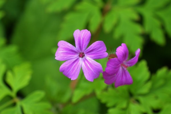 A rather flouncy looking Herb-Robert – Oisín Duffy