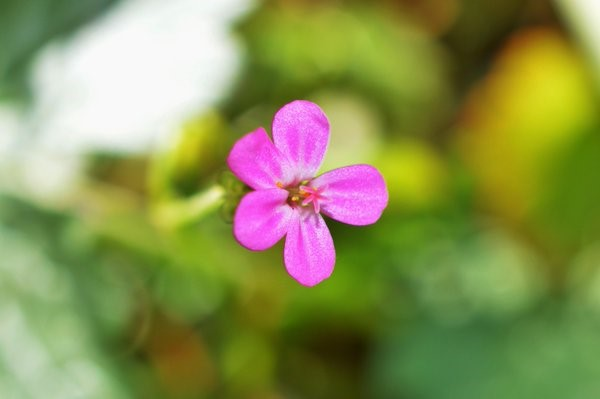 Shining Cranesbill (Geranium lucidum) a small and distinctive member of the Geranium family – Oisín Duffy