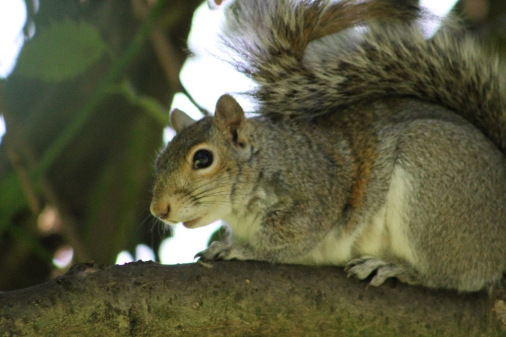 figure-2-around-40-of-mammal-introductions-globally-are-thought-to-have-been-intentional-with-squirrel-introductions-occurring-on-at-least-300-separate-occasions