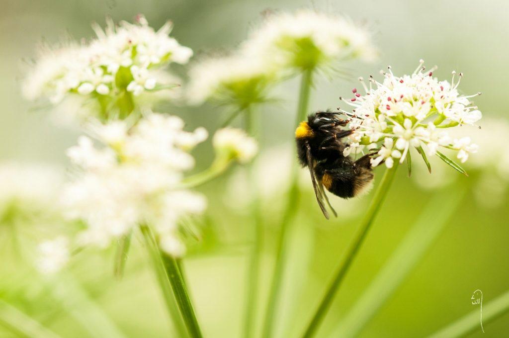 Bombus terrestris (Buff tailed bumblebee)