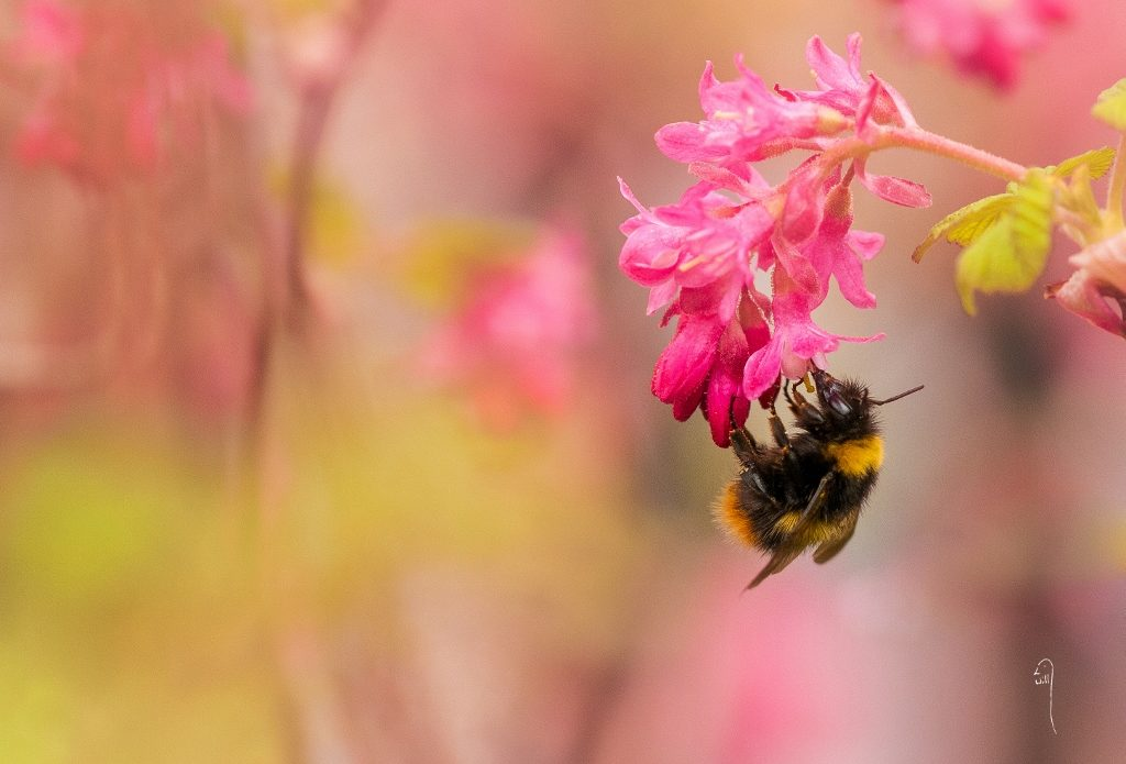 Bombus pratorum (Early Bumblebee)