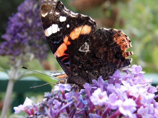 A slightly worn Red Admiral, but still showing an interesting underside and one which is very distinctive when seen at rest – Oisín Duffy