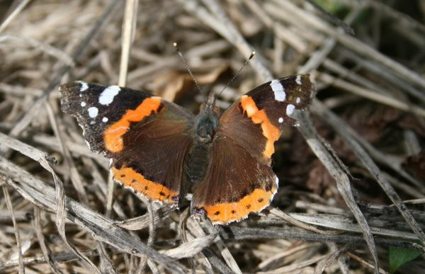 Topside of the Red Admiral, showing black wing tips with white markings or mottling. Orange markings on both forewings and hindwings are usually very noticeable – Oisín Duffy