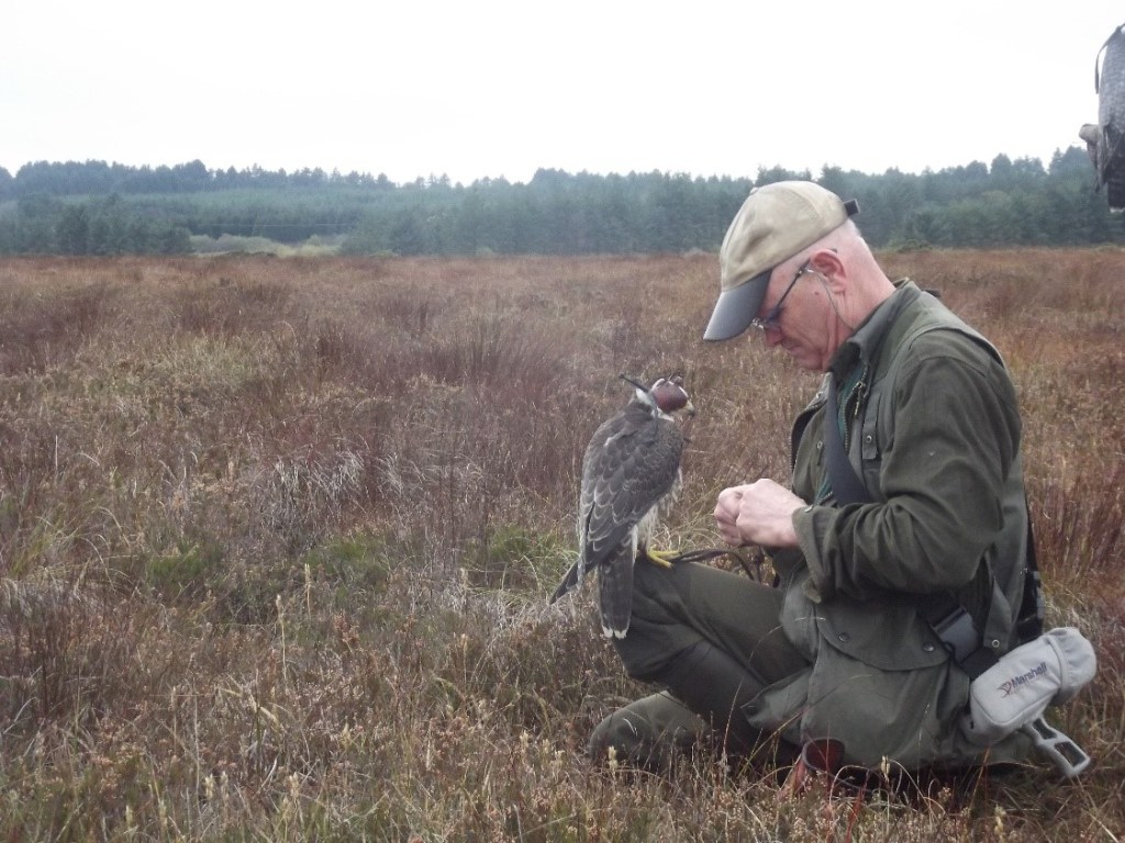 Figure 3: A young tiercel peregrine about to be flown free to hunt naturally for snipe over a Kerry bog. The hood keeps the bird calm while the spectators look on with anticipation.