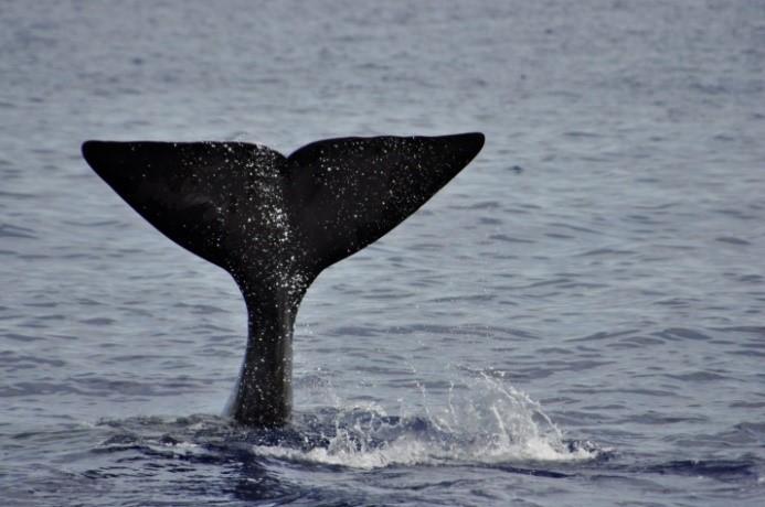 Sperm whale in ireland
