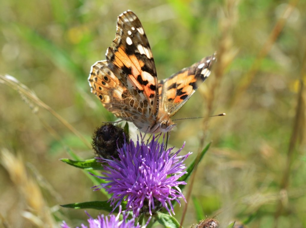 Painted Lady nectaring on Common Knapweed (Centaurea nigra) – Oisín Duffy