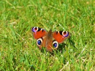 A beautifully posed Peacock butterfly showing those distinctive eyespots, this particular individual looks very fresh and is in pristine condition – Oisín Duffy