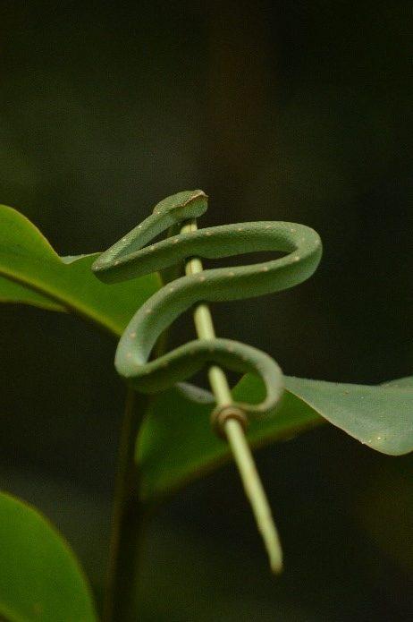 Green Pit Viper (Tropidolaemus subannulatus)