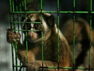 Lauren Lewis, 2017. 14 critically endangered slow lorises rescued from exotic pet trade.