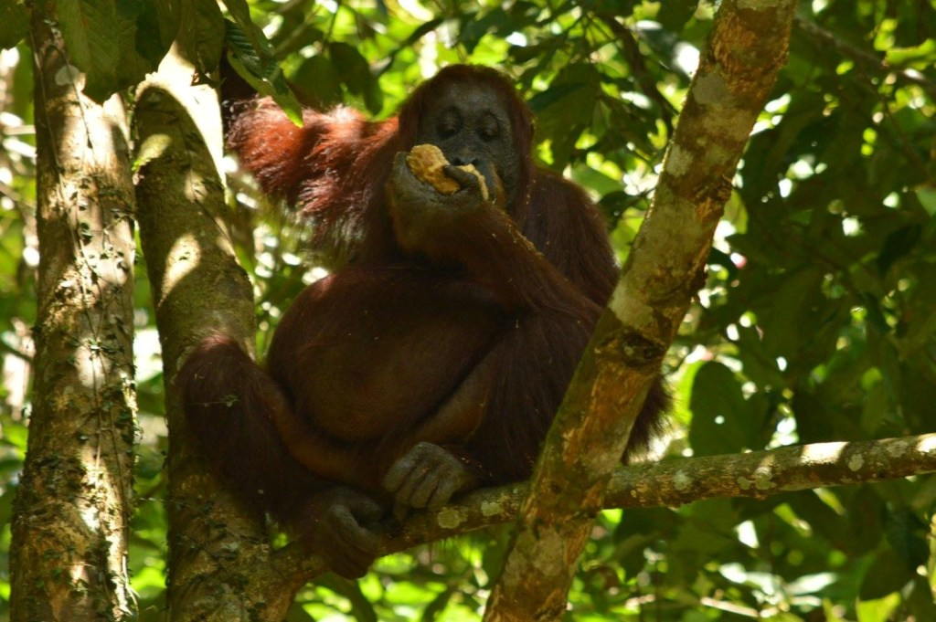 Bornean Orangutan (Pongo pygmaeus) having a fruitful morning