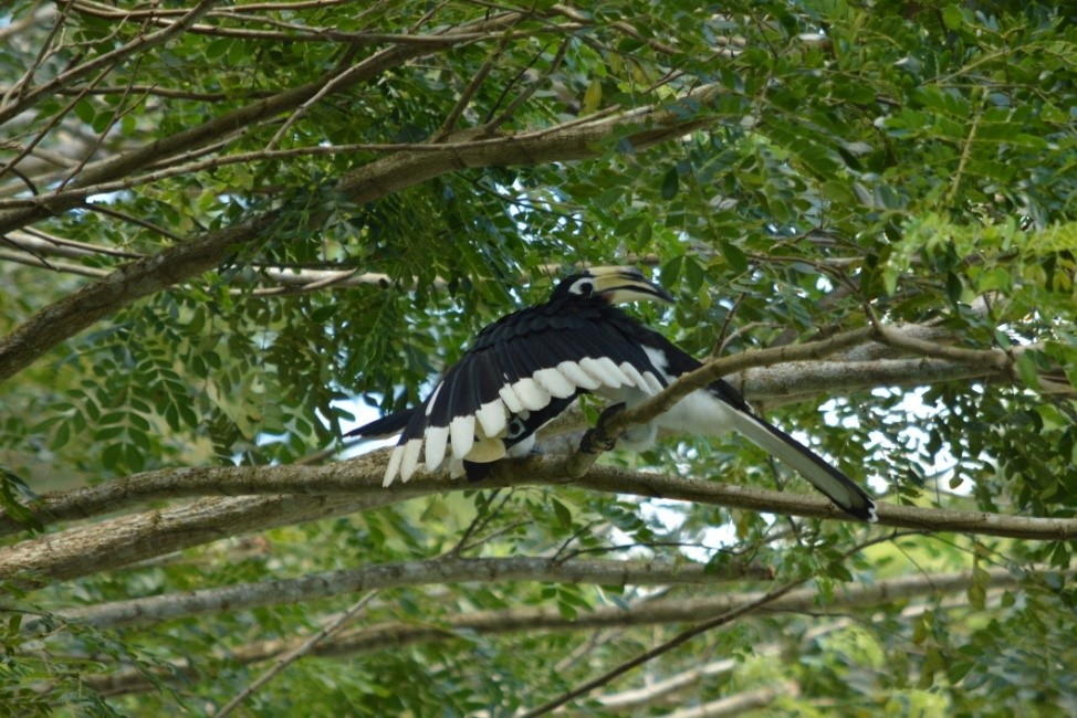 Oriental Pied Hornbills (Anthracoceros albirostris) in a romantic embrace