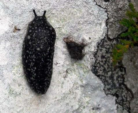 Kerry slugs Geomalacus maculosus have been solely blamed for holding up roadworks in Co. Cork, despite the fact that the planned route would have sliced through a woodland site designated for the protection of many other organisms. (Photo: Aidan O'Hanlon©)