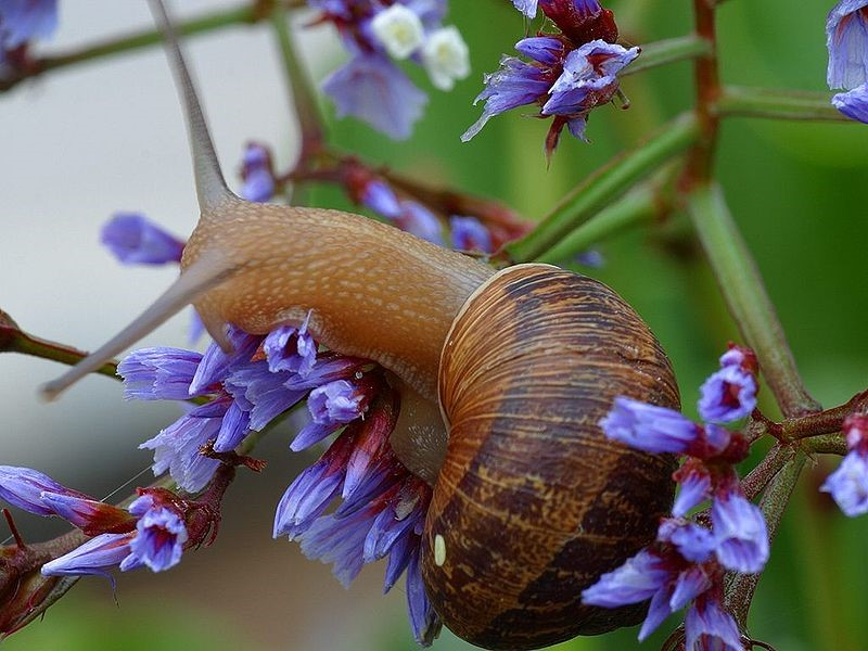 The most famous snail in the world: The garden snail Cornu aspersum is extremely abundant in most gardens throughout Ireland, making it a great mascot for land-molluscs. (Photo: Wiki Commons)