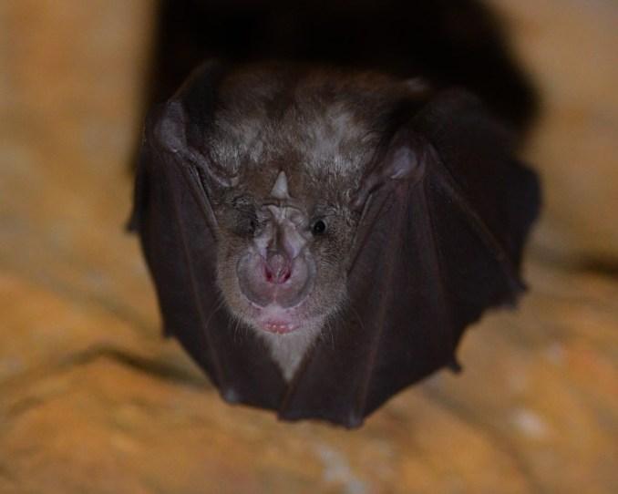 Rhinolophus hipposideros (lesser horseshoe bats)