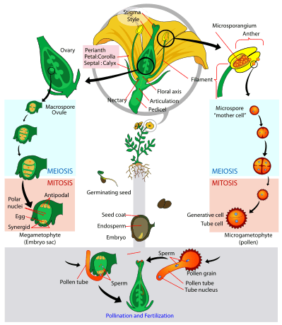 life cycle of moss plant diagram squirrel anatomy sweet potato (ipomoea batatas) reproduction