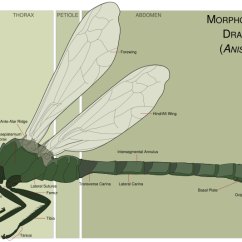 Dragonflies Eye Diagram 110cc Pit Bike Wiring Anisoptera Dragonfly Morphology