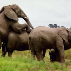 African Elephant Food Chain Diagram Towbar Electrics 13 Pin Wiring Erotic Elephants