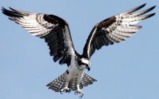 https://i0.wp.com/bioweb.uwlax.edu/bio203/s2007/taylor_andr/images/Osprey.jpg