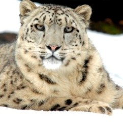 Snow Leopard Anatomy Diagram Science Fair Board Adaptation