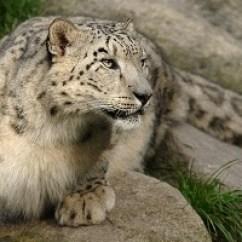 Snow Leopard Anatomy Diagram Ergonomic Workstation Adaptation