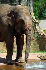 UW-L HomepageAsian Elephant Ele