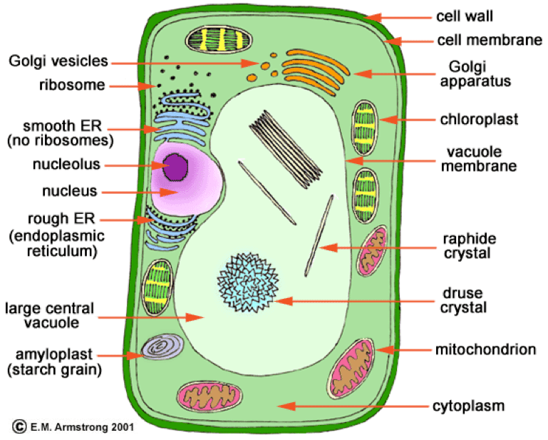 7th grade cell diagram 2005 ford focus radio wiring animal vs. plant cells | biology with valerie