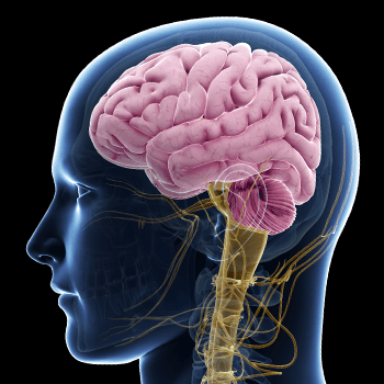 Exploring the evolution of human brain development with