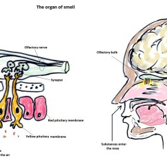Nose And Smell Diagram Wiring Ignition Coil Bioxeocotobade Licensed For Non Commercial Use Only