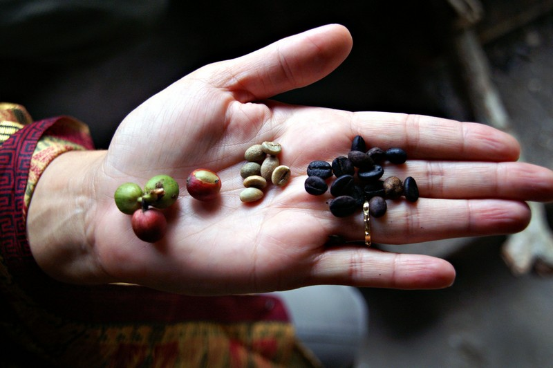 The Life Of A Coffee Bean From Plant To Cup Bipartisan Cafe